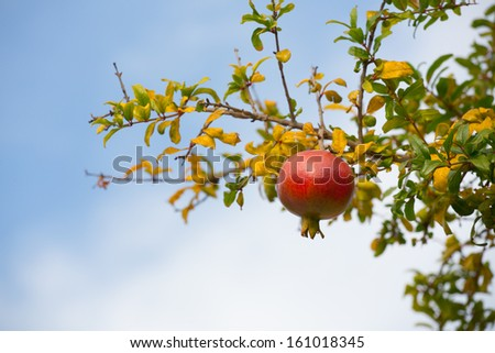 Colorful Pomegranate Fruit on Tree Branch.  - stock photo
