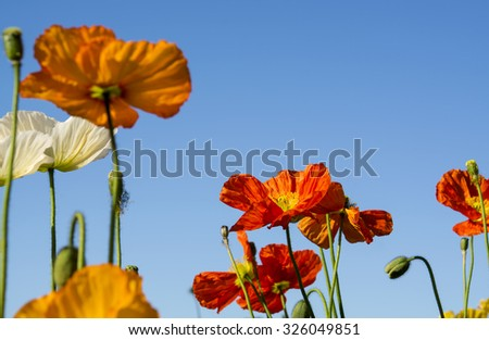 Colorful Poppies - stock photo