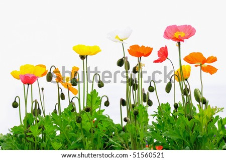 Colorful poppies against a white background - stock photo