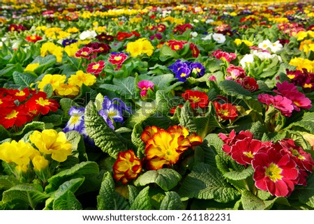 Colorful primroses in a variety of colors flowering in a nursery or flower farm during the new spring season - stock photo