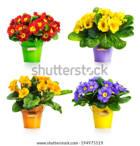 Colorful primula flowers in bucket collection isolated on white background - stock photo