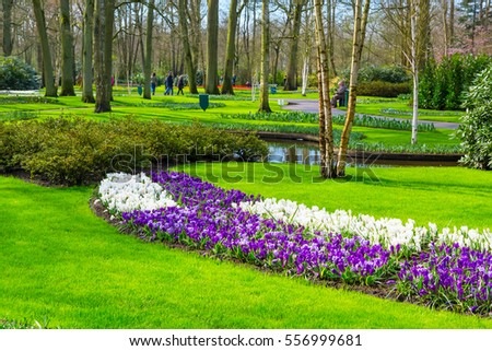 Colorful purple and lilac crocus flowers blossom in holland spring garden