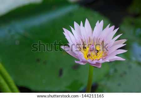 Colorful Purple lotus flower  and bee in pond