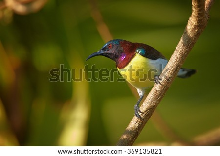 Colorful Purple-rumped Sunbird Leptocoma zeylonica,asian nectar feeding bird in mating plumage, watching female,perched on diagonal twig in early morning,blurred leaves in background,Sri Lanka.  - stock photo