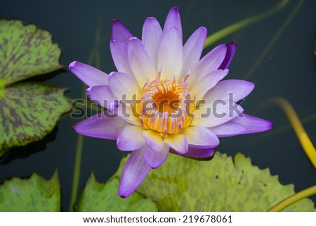 Colorful purple water lily blooming in morning - stock photo
