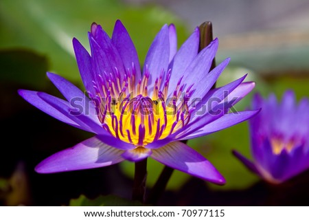 Colorful purple water lily with bee in macro shot, Sriracha Thailand - stock photo