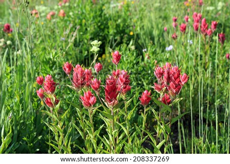 Colorful red indian paintbrush in the Utah mountains, USA. - stock photo