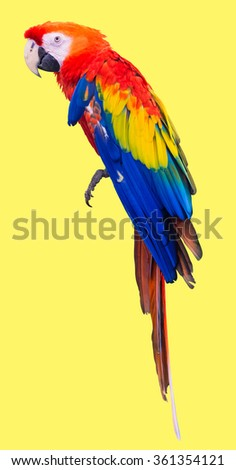 Colorful red parrot macaw on yellow background with clipping path