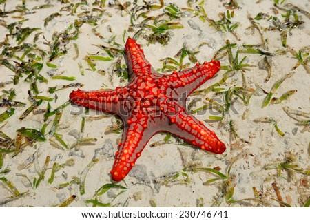 Colorful red starfish on wet sand, Zanzibar island - stock photo