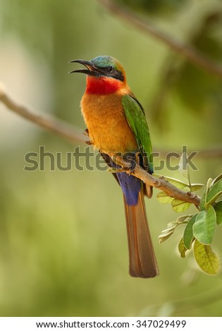 Colorful Red-throated Bee-eater Merops bulocki frenatus with opened beak,  perching on branch at the tropical forest, Africa, Uganda, March. Green distant background. - stock photo
