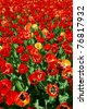 Colorful red tulips under the bright spring sun. - stock photo
