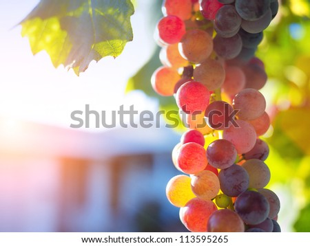 Colorful ripe grapes on grapevine. Macro closeup. - stock photo
