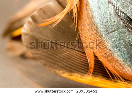 Colorful rooster feather with details and reflexions