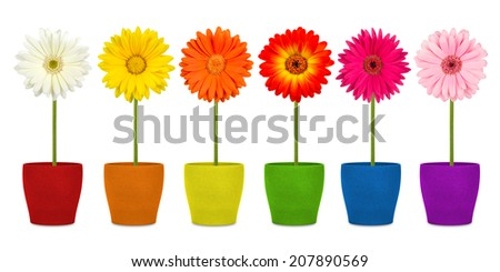 colorful row of gerbera flowers in pots  - stock photo