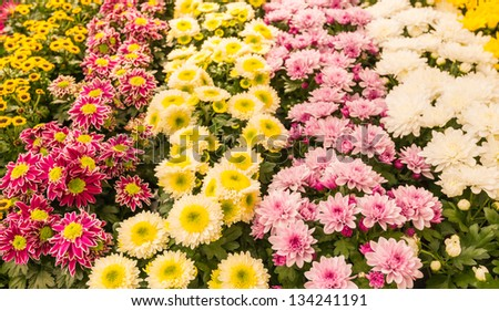 Colorful rows of beautiful blooming Potmums in a Dutch flower nursery. - stock photo
