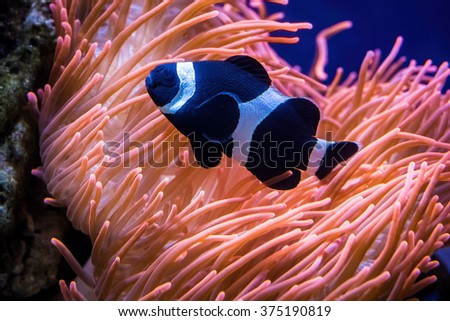 Colorful sea anemone as viewed from an aquarium. The tentacles or arms were swaying with the water current, accompanied by a black clown fish. - stock photo