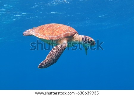 Colorful sea turtle swimming in the azure ocean. Blue fresh background, wild cute underwater sea animal. Scuba diving tropical reef photo.