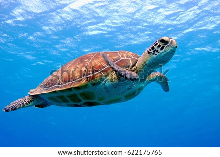 Colorful sea turtle swimming in the blue shallow ocean water. Sea wildlife and scuba diving.
