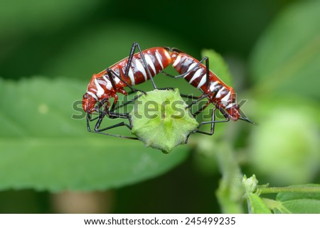 Colorful Shield Bug mating - stock photo