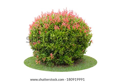 Colorful shrub of short Pigeon Berry tree isolated over white background - stock photo