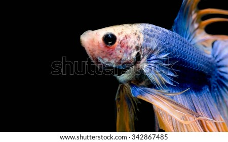 Colorful siamese fighting fish, betta fish isolated on black background. - stock photo