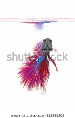 Colorful siamese fighting fish, betta fish isolated on white  background.