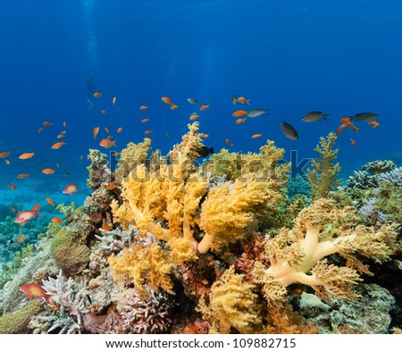 Colorful soft and hard corals surrounded by fish with a diver in the background on a tropical coral reef in the Red Sea - stock photo