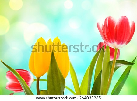 colorful spring flower photo  with many tulip over the soft focused bokeh background  - stock photo