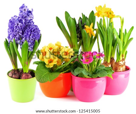 colorful spring flowers in pots on white background. blue hyacinth, pink primulas, yellow daffodils - stock photo