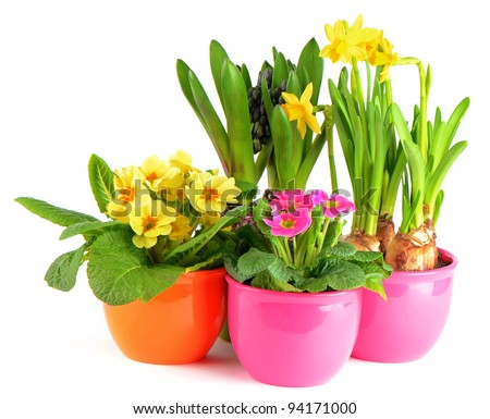 colorful spring flowers in pots on white background. hyacinth, pink primulas, yellow daffodils