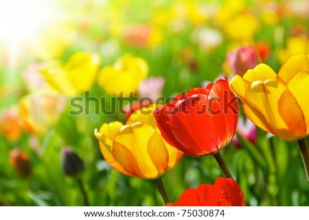 Colorful spring flowers tulips