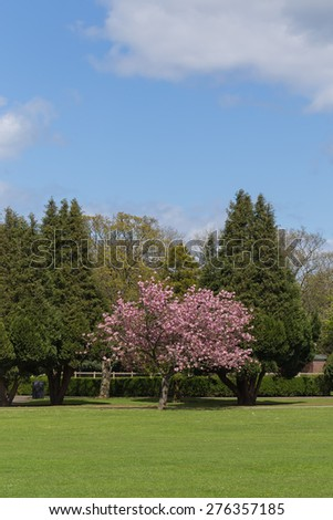 Colorful Spring Landscape with Green Lawn and a Blossoming Accolade Cherry Tree.   - stock photo