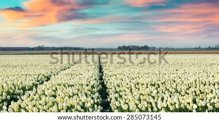 Colorful spring morning on the tulip farm near Espel village. Beautiful outdoor scenery in Netherlands, Europe. Instagram toning. - stock photo