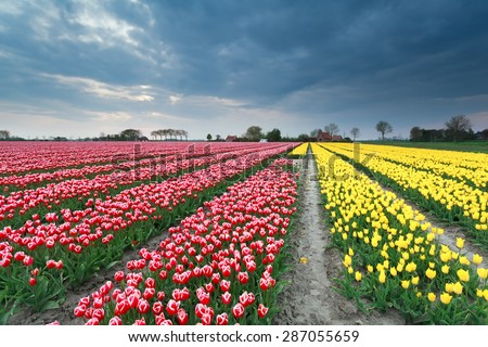 colorful spring tulip field in Holland