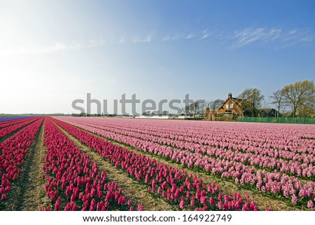 Colorful spring tulip fields in the Netherlands - stock photo