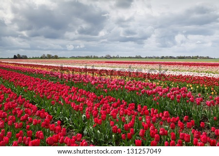 colorful spring tulips fields in Holland - stock photo