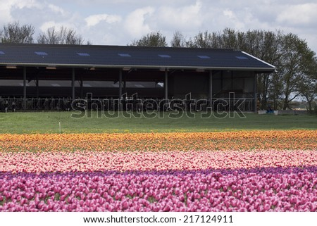 Colorful spring tulips image with cows in the background - stock photo