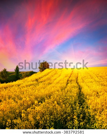 Colorful summer scene in the countryside. Sunset on the field of blooming colza. Amazing landscape for advertisement using.
