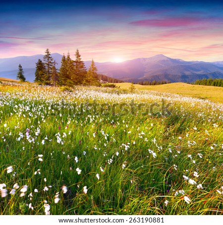 Colorful summer sunrise in the  mountains with a field of feather grass flowers - stock photo