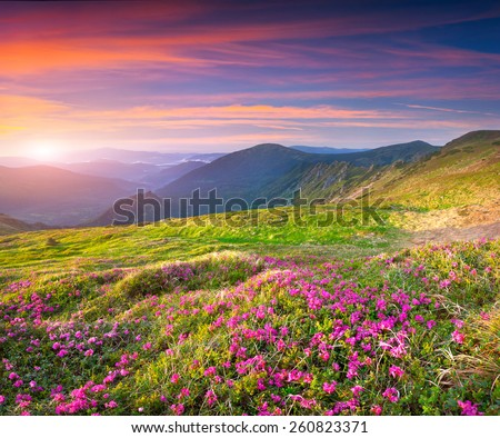 Colorful summer sunrise in the mountains with a fields of blossom rhododendron flowers - stock photo