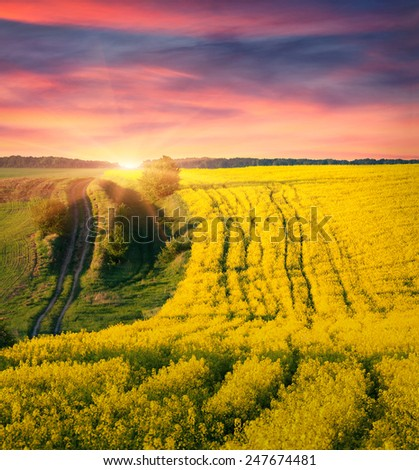 Colorful summer sunrise on the field of blossom canola - stock photo