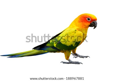 Colorful Sun Conure, the very beautiful standing yellow parrot bird isolated on white background
