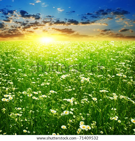 Colorful sunset and daisy flowers in the field. - stock photo