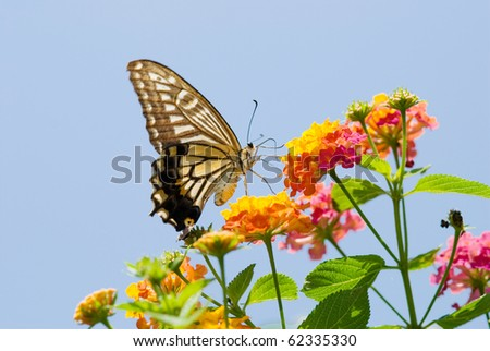 Colorful swallowtail butterfly flying and feeding under blue sky - stock photo