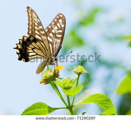 Colorful swallowtail butterfly (Series NO.70) flying and feeding under blue sky - stock photo