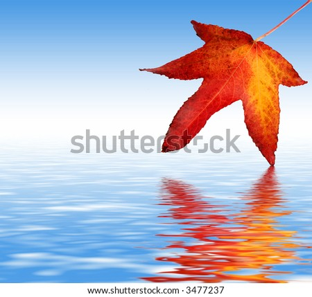 Colorful Sycamore Leaf Dipped in water - stock photo