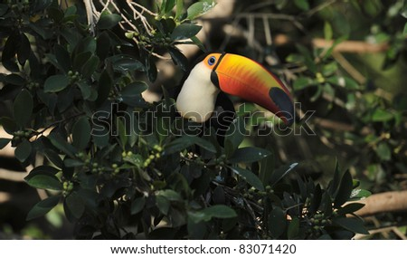 colorful toucan - stock photo