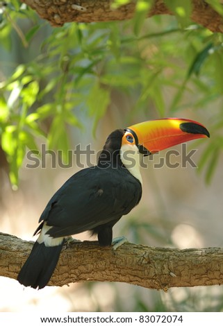 colorful toucan