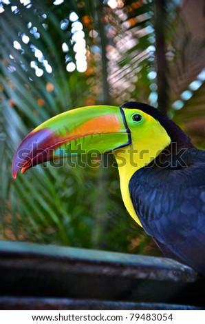 Colorful toucan bird in Mexico - stock photo