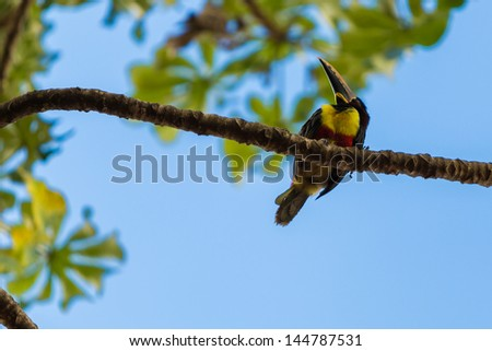 Colorful toucan in Pantanal, Brazil. Pantanal is one of the world's largest tropical wetland areas located in Brazil , South America - stock photo